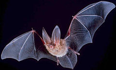 Fledermaus, courtesy of wikipedia